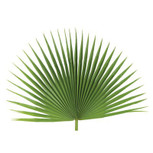 Fan Palm-Palm Sunday