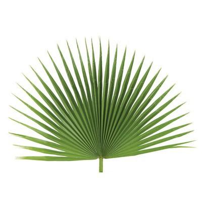 Fan Palm-Palm Sunday