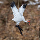 Leaping Whooping Crane