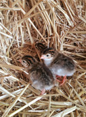Pearl Guinea Chicks, Game bird, Ranch Fowl (Seasonal and available in store only)