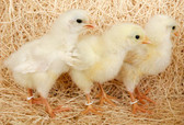 White Leghorn Chick (Warm Weather Seasonal) In-Store-Only