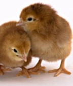 Rhode Island Red Pullet (Hen) Chicks (Seasonal, In-Store-Only) Special Orders welcome when available