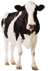 Dairy Cow - Lifesize Cardboard Cutout / Standee