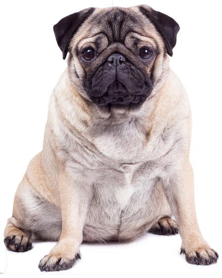Giant Pug Dog Lifesize Cardboard Cutout / Standee / Standup