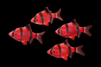 GLOFISH® BARB - STARFIRE RED®