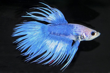 CROWNTAIL BETTA - MALE