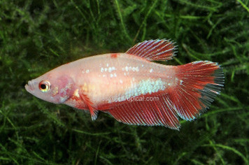 HALFMOON FEMALE BETTA