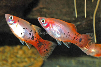 REDTAIL CRYSTAL PLATY