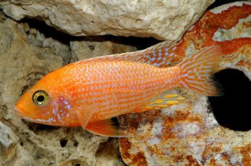 RED FIRE MALE - MED