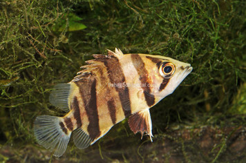 BRACKISH - TIGER DATNOID NEW GUINEA