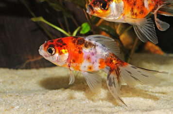 "FANTAIL CALICO 1.5-2"" - 5135PS"