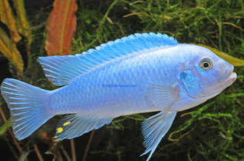 BLUE COBALT ZEBRA - MED