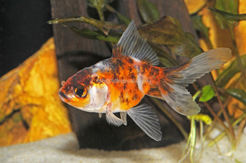 FANTAIL - CALICO - 3-4""