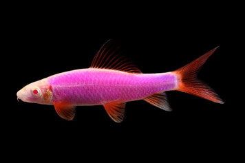 GLOFISH® SHARK - GALACTIC PURPLE