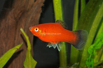 RED WAG PLATY - XL