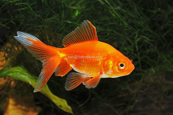FANTAIL - RED - 3-4""