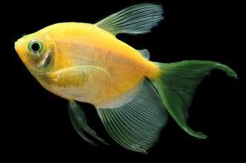 GLOFISH® TETRA - LF SUNBURST ORANGE®