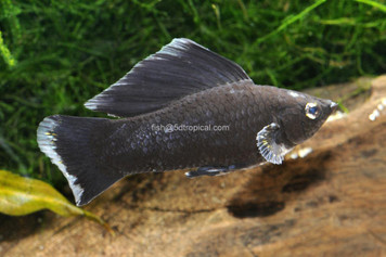 BLACK SAILFIN MED - 3457PS