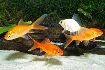 FEEDER GOLDFISH MED - 2722PS