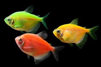 GLOFISH® TETRA - ASSORTMENT