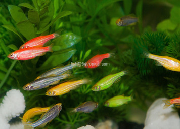 GLOFISH® DANIO - ASSORTMENT