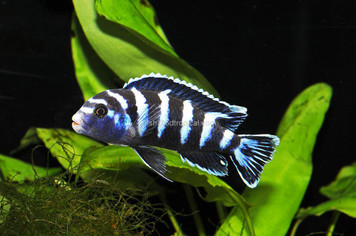 AFRICAN MBUNA - PS. DEMASONI LG  60221PS