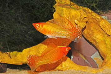 GOLD SAILFIN MOLLY MED - 3036PS