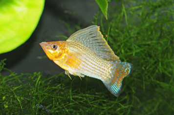 GREEN SAILFIN MOLLY LG - 3090PS