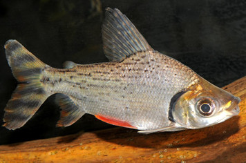 S AMERICAN-  FLAGTAIL PROCHILODUS  3321PS