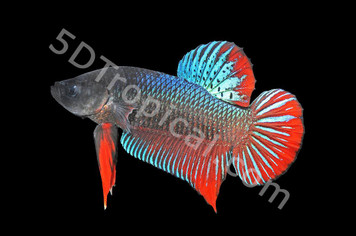 GIANT SHORT TAIL MALE W/CUP - 31153PS