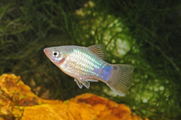 BLUE PLATY - 1926PS