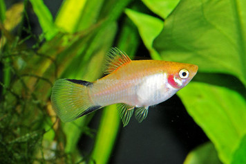 GOLD TWIN BAR PLATY - 3104PS