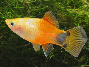 GOLD M/M PLATY - 3100PS