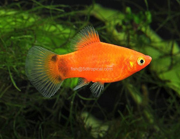 RED M/M PLATY - 3114PS
