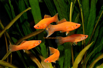 BRICK SWORDTAIL