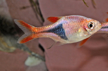 HARLEQUIN RASBORA - XL - IMPORT