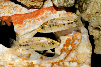 AFRICAN HAPS - COMPRESSICEPS OB SM 6397PS