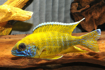 SUNSHINE 'MALERI ISL.' MALE - MED