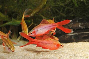 CHERRY VEILTAIL MALE - 1078PS