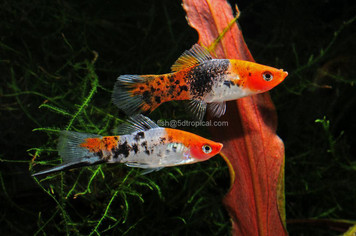 SANKE CALICO SWORDTAIL