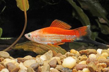 PINEAPPLE WAG SWORDTAIL