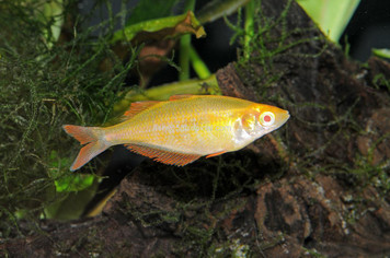 MILLENNIUM - ORANGE ALBINO - MED