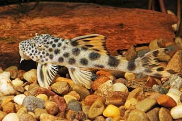 YELLOW SPOT PLECO - L075