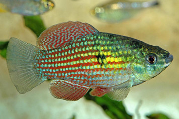FLORIDA FLAGFISH