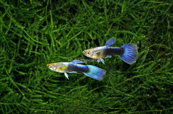 TURQUOISE BLUE TAIL MALE