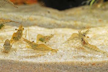 FEEDER GHOST SHRIMP - BAG