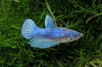 BETTA-HALFMOON FEMALE W/CUP 31260PS