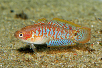 MISC-GOBY PEACOCK GUDGEON LG