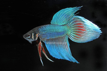 ASST MALE BETTA W/ CUP - 31106PS