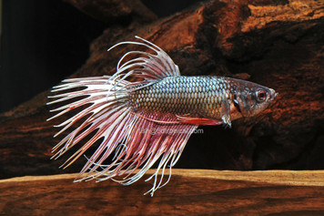 BETTA-DRAGONSCALE CROWNTAIL MALE W/CUP